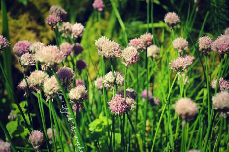 Floral Chives.jpg